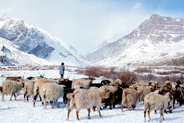 Shepherd at Spiti Valley