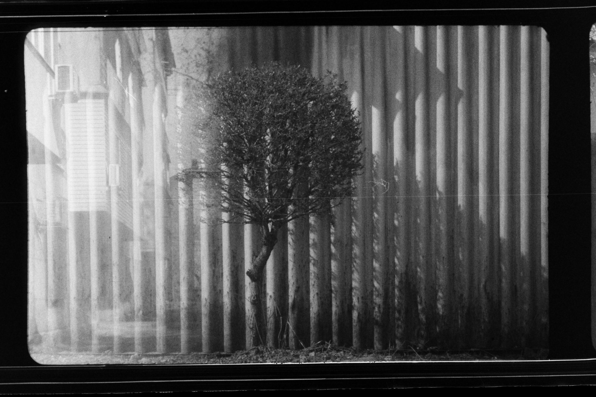 Tree against fence (Pic: Andrey Khludeyev)