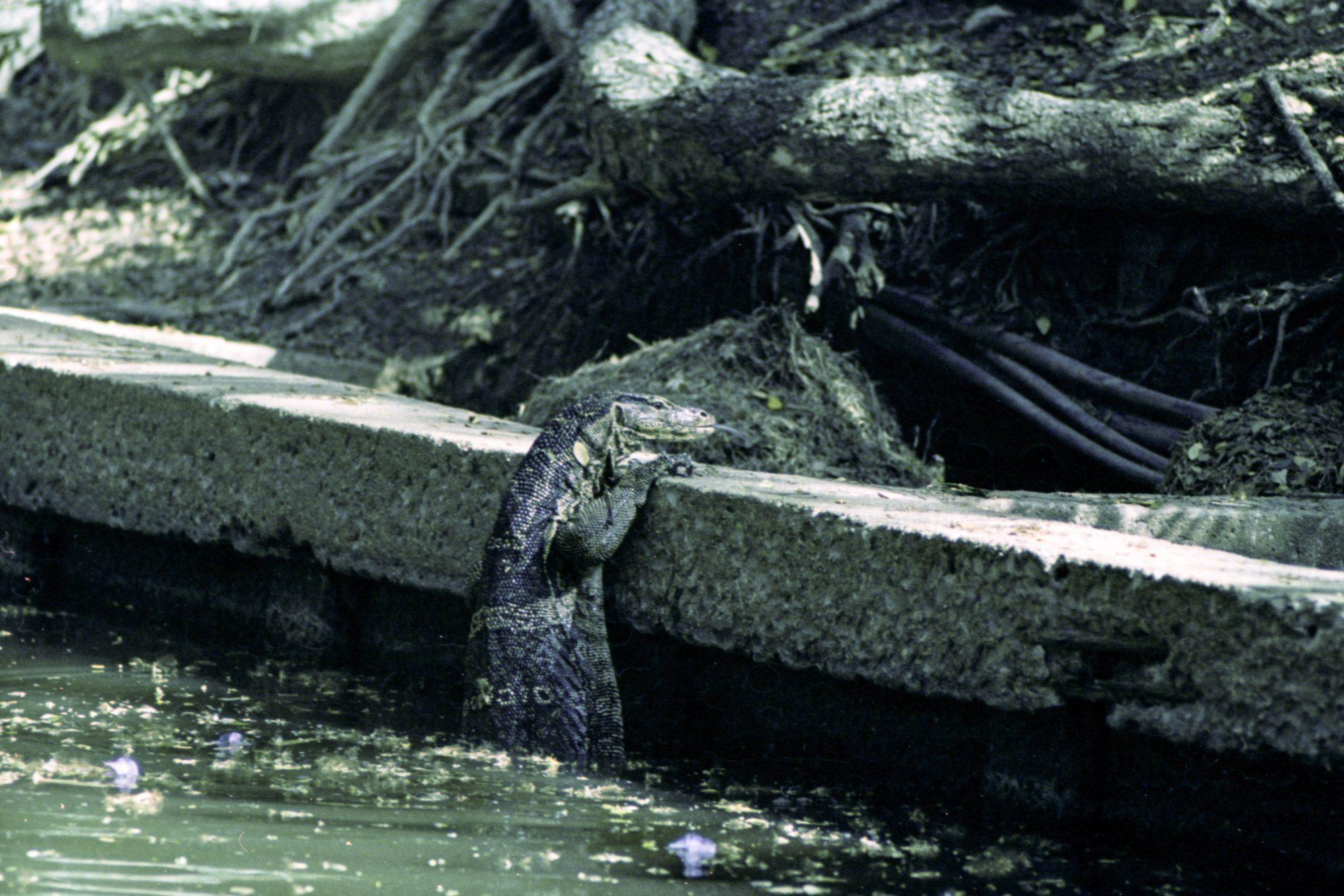 Water monitor (Pic: Iain Compton)