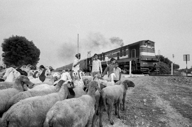 Lock of sheep and passing train (Pic: Nandakumar Narasimhan)