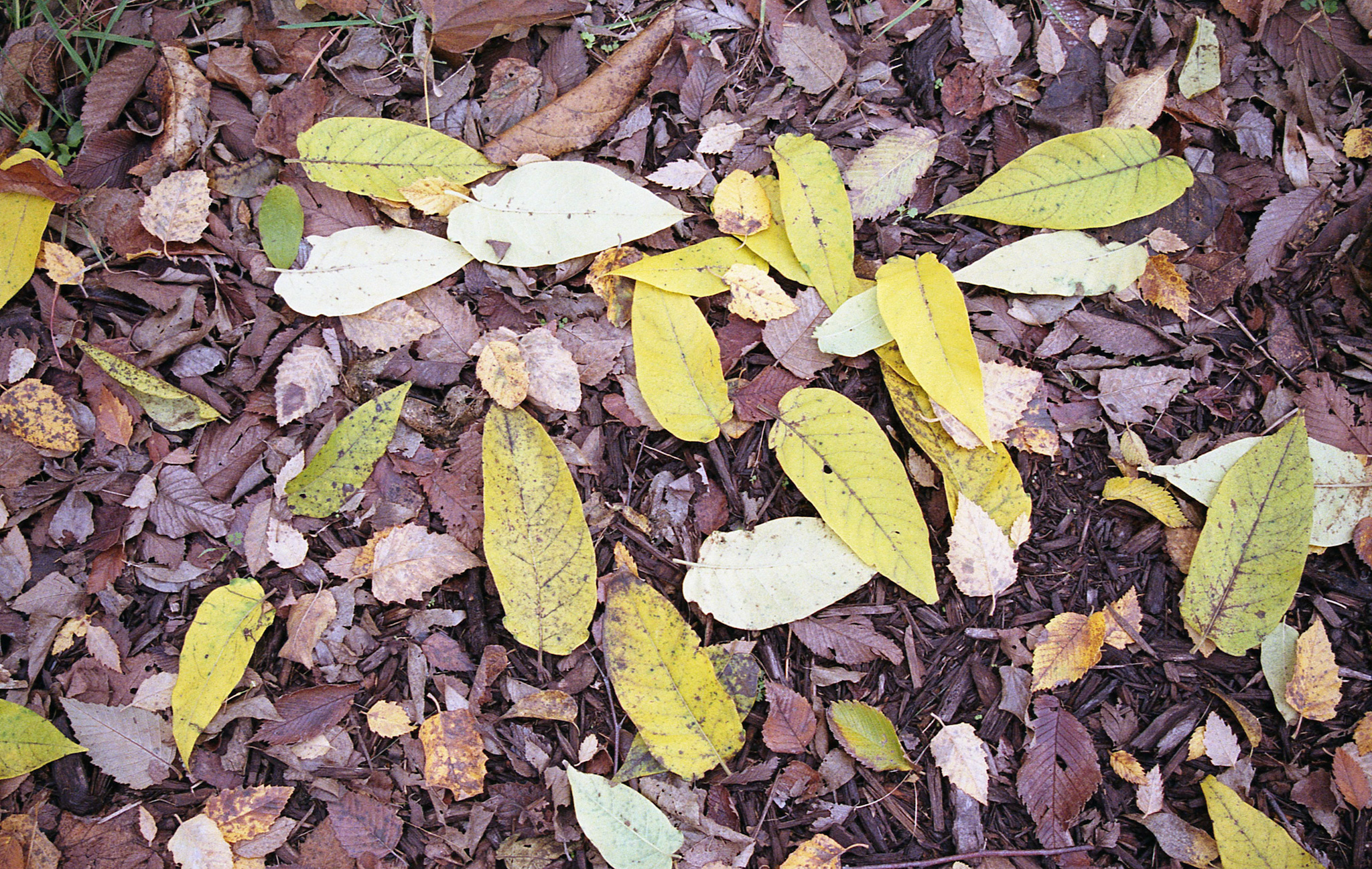 Leaves on ground (Pic: Kevin Lane)